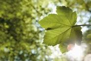 leaf_med